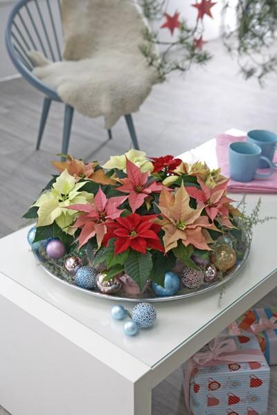 Poinsecje występują w wielu kształtach i kolorach. Delikatne różowe, eleganckie kremowe lub żywo czerwone okazy – każdy znajdzie coś dla siebie. Jeżeli podobają Ci się wszystkie odmiany, to umieść je w jednym naczyniu, udekoruj świątecznymi dodatkami i ciesz się ich urokiem przez całą zimę.