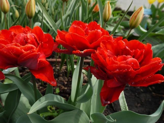 'Red Princess' z grupy Pełne Późne