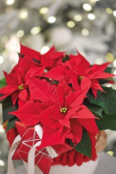 2-weihnachtsstern-close-up-glow_20150818184307