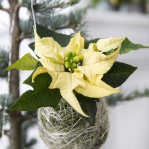 Poinsecja w świątecznych wspomnieniach - garść świątecznych dekoracji