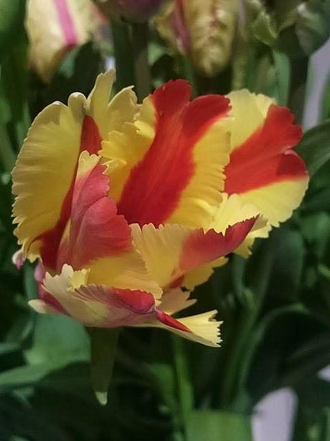 Tulipan Flaming Parrot
