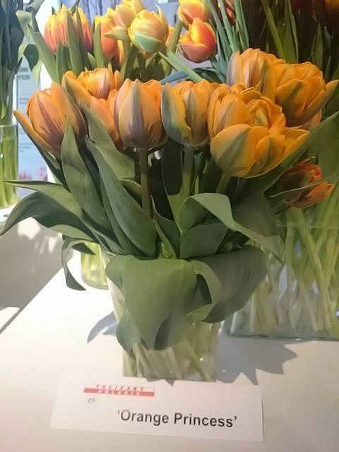 Tulipan Orange Princess