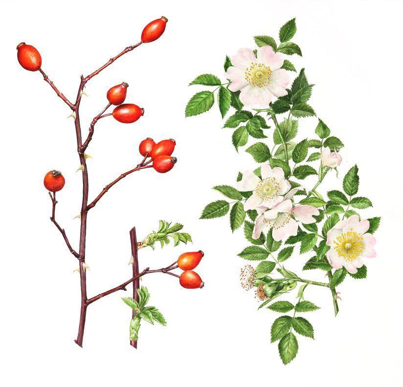 Owoce i pędy róży psiej (Rosa canina) fot. Pinterest.com