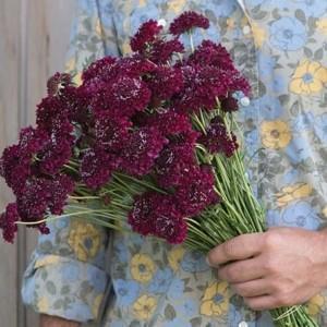 Florystyczne smaczki – nowa grupa odmian skabiozy
