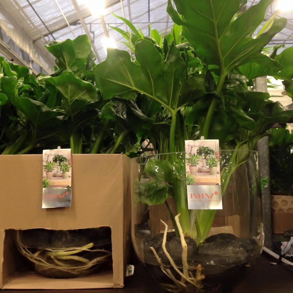 Mangrove Atom VDE plant