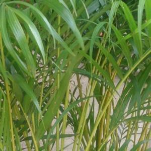 Palma Areca: roślina doniczkowa na miesiąc luty 2020
