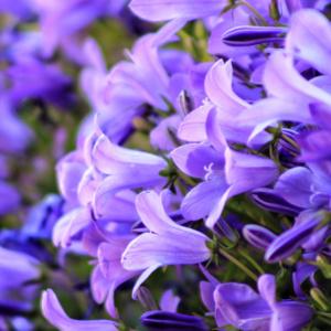 Campanula, dzwonek - roślina doniczkowa na kwiecień 2020