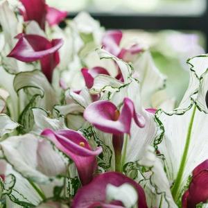 Cantedeskia: kwiat doniczkowy czerwca 2020