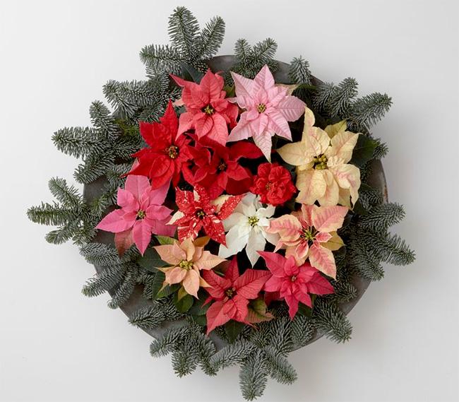 popularne rośliny świąteczne poinsecja