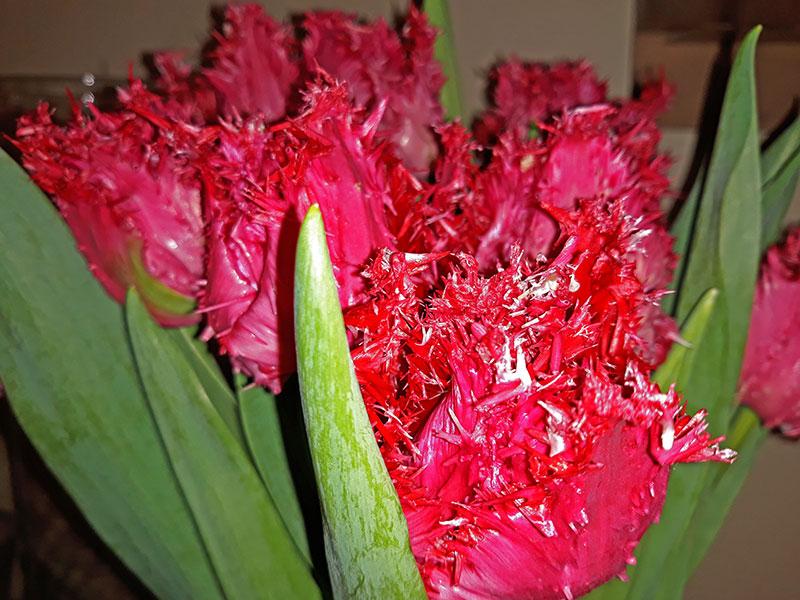 'Barbados' - tulipany fryzowane igiełkowe