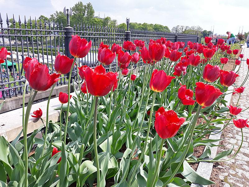 nowe odmiany tulipanów 2019 Serce Warszawy