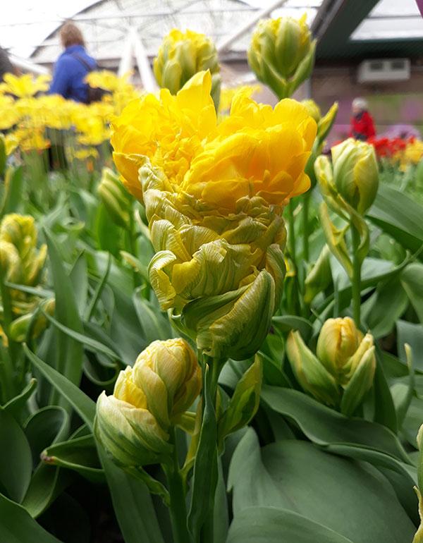 nowe odmiany tulipanów Tulipan 'Artichok'