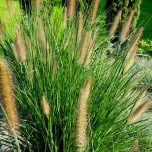 Rozplenica japońska - łatwa kompozycja z trawą