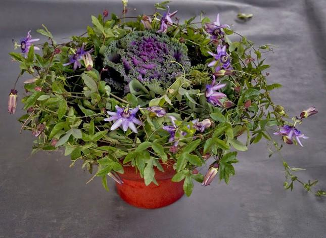 passiflora7