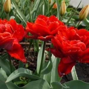 Gatunki i odmiany tulipanów
