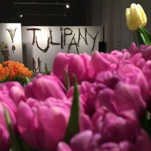 tulipany wystawa