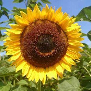 Trzy oblicza słonecznika