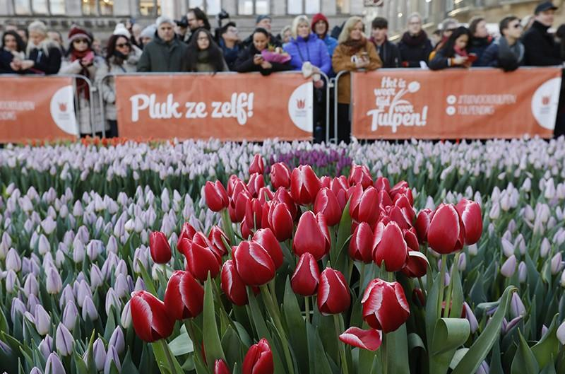 fot. Tulpen Promotie Nederland