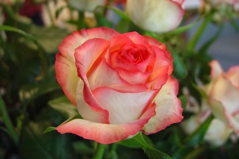Róża Jumila