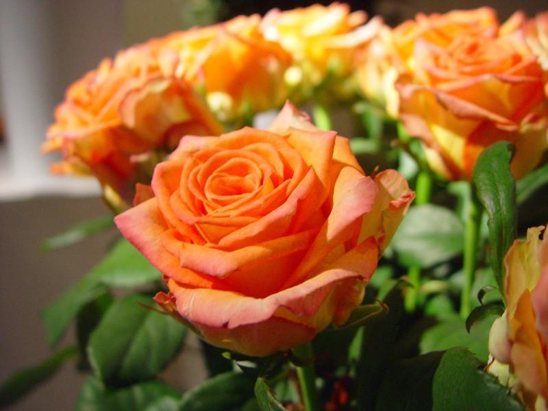 Róża Mighty