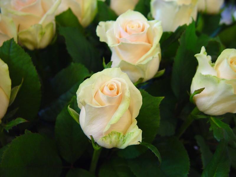 Róża Talea