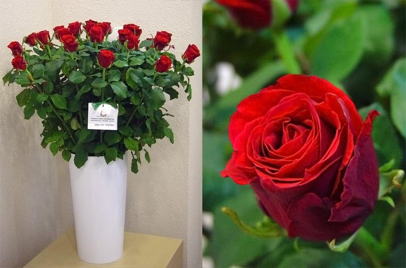 Róża Spectra