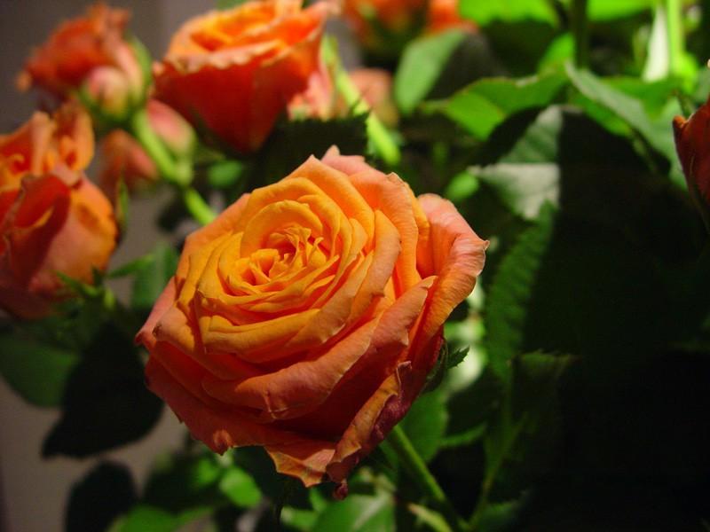 Róża Jenny