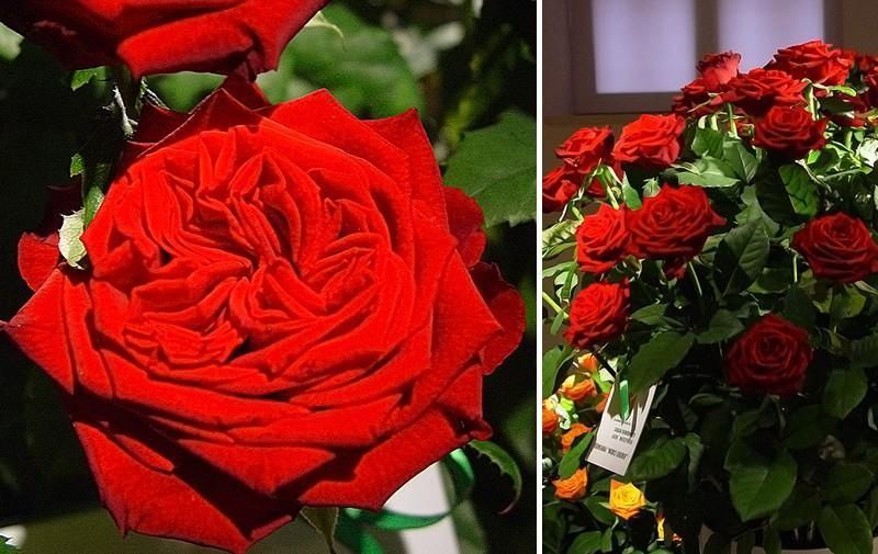 Róża Merci Cherie