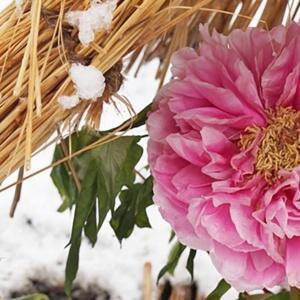 Zimowe piwonie w japońskich ogrodach