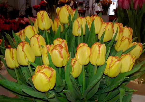 Tulipan dwubarwny  'Cape Town'
