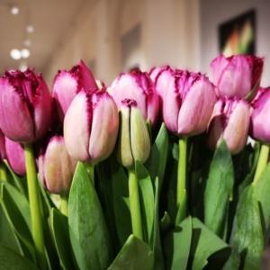 Tulipan Curly Sue