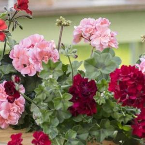 Pelargonie tańczące na wietrze. Własnoręcznie wykonane wiszące kwietniki do letniego ogrodu lub na balkon.