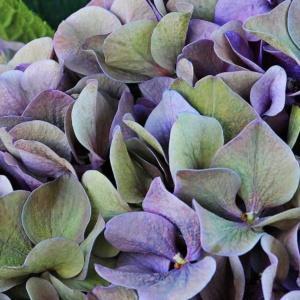 Hortensja – twój kwiat na sierpień