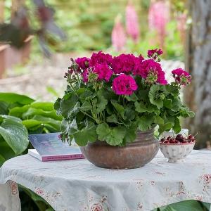 Kwiatowy raj w dobrym stylu - klasycznym, vintage czy green living. Pelargonie to wszechstronne rośliny!