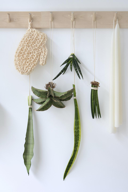różne rodzaje liści sansewieria