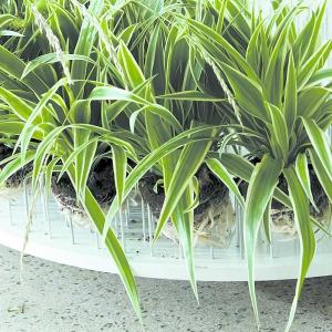 Ta roślina to prawdziwy kopciuszek wśród roślin doniczkowych!