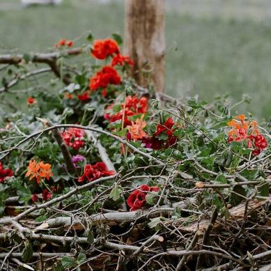 pelargonie - Kwitnące Horyzonty w Opolu
