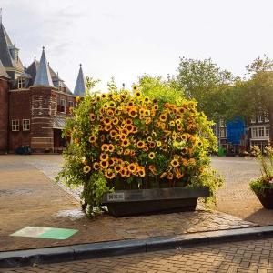 Sunflower Flash: Amsterdam udekorowany słonecznikami
