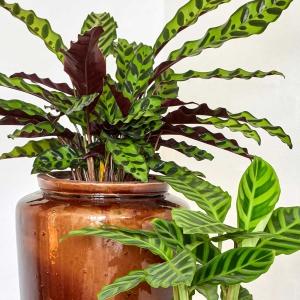 Kalatea. Idealna roślina do dżungli w Twoim domu!